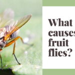 What causes fruit flies