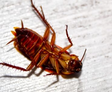 Does killing a cockroach attract more