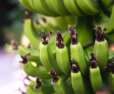 How to eat green bananas